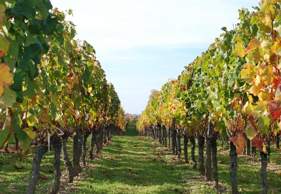 Las subvenciones para los seguros en viñedos han sido convocadas: este año las ayudas aumentaron para Álava, las bases han sido publicados por el BOTHA, a 125.000 euros.