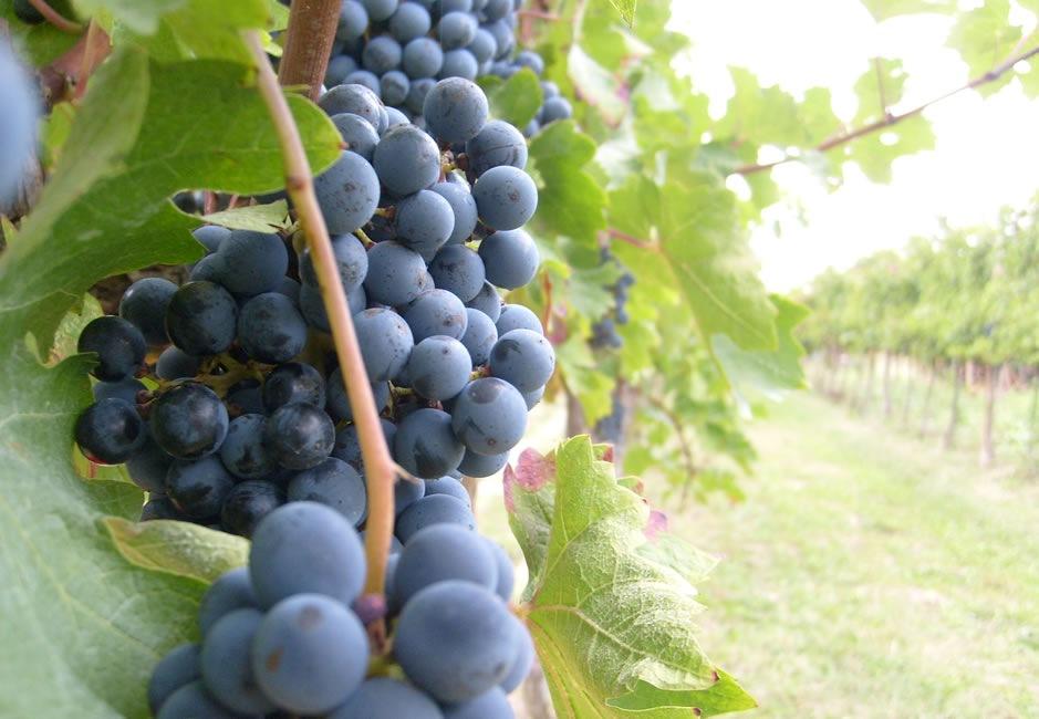 Llega a su fin en la Provincia de Albacete, el periodo de contratación del seguro de Pedrisco para frutales y uva de vinificación