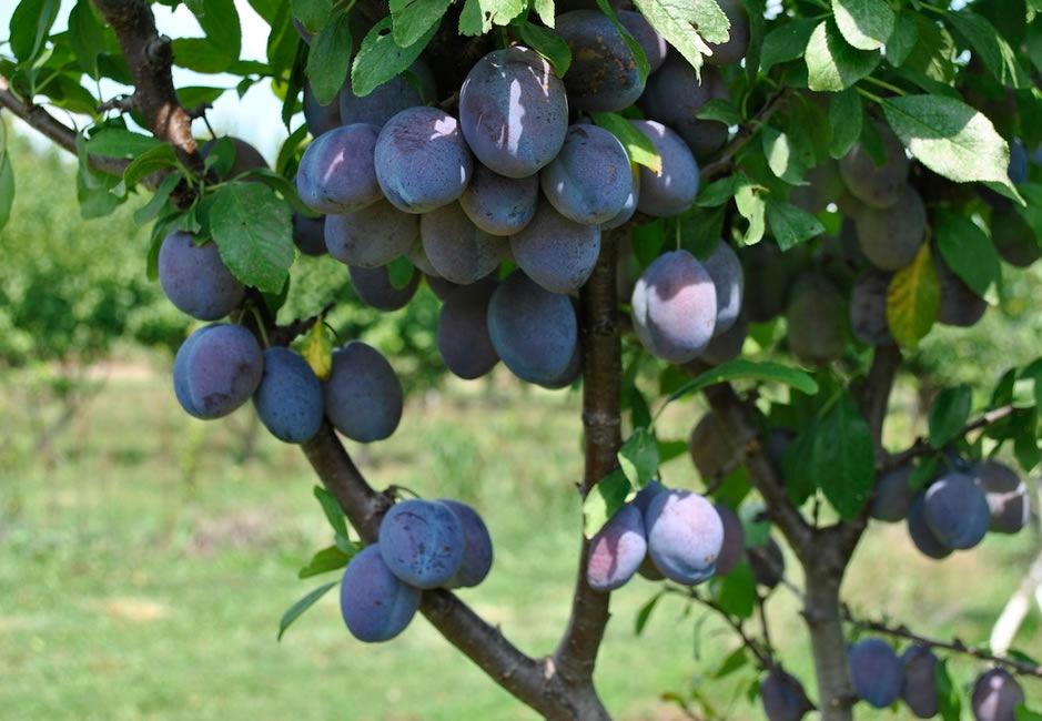 Se pierde en Extremadura el 70% de la producción prevista de ciruela